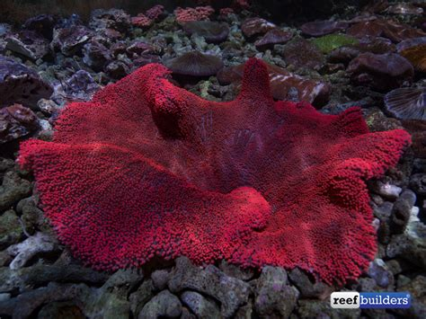 This Red Carpet Anemone In Bali Is Looking Incredible! Bali, Bali Aquarium, Companies, Indonesia Oxiclean Carpet Cleaning Karastan Sale Deodorize With Baking Soda Menards Cleaner Airport Mart Victory Tulsa Difference Between Bed Bugs And Beetles In Bexley