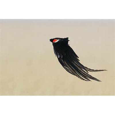 Long-tailed Widowbird – Bird & Wildlife Photography by