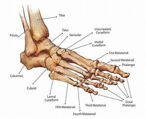 Best 7 Anatomy Of Ankle Images On Pinterest