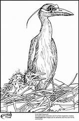 Stork Coloring Teamcolors Bird sketch template