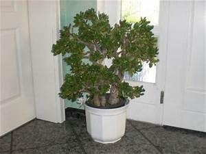 Chinesischer Geldbaum Kaufen : l ffelbaum geldbaum leipzig althen kleinp sna markt ~ Michelbontemps.com Haus und Dekorationen