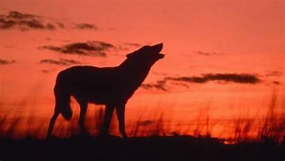 Howling Dusk Wolf Animals Calling Desktop