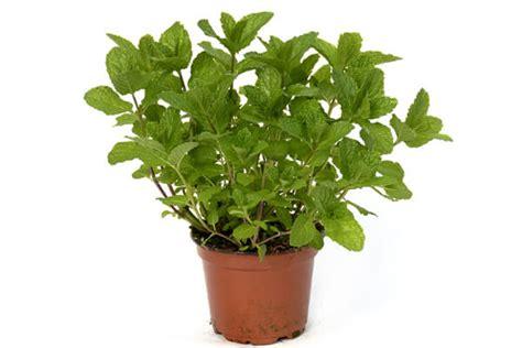 Cultiver Menthe En Pot by 20 Rem 232 Des Naturels Anti Moustiques Efficaces Page 2 Sur 5