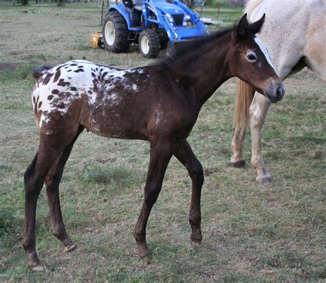 horse horses grey appaloosa born turn being examples related animals end google
