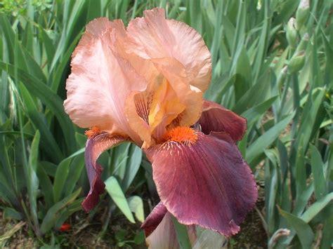 bearded irises trees planet iris germanica german iris bearded iris