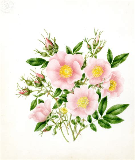 botany flowers pics for gt botanical flower drawing
