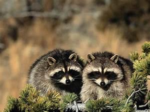 Raccoon wallpaper | Free Animal Wallpapers