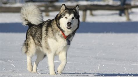 9 dogs that look like huskies barking royalty