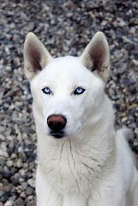 White fur, blue eyes; the best combination | Doggo ...