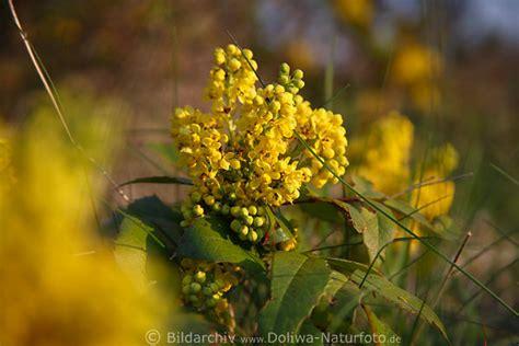 mahonie bild mahonia aquifolium gelbe fr 252 hlingsbl 252 ten