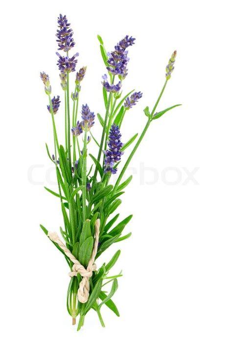 Bilder Mit Lavendel by Haufen Lavendel Auf Wei 223 Em Hintergrund Stockfoto Colourbox