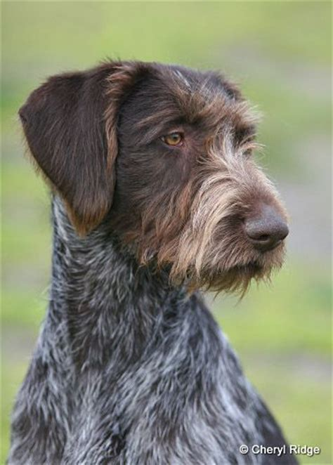 griffon german wirehaired pointer shedding 1000 images about german wirehaired pointer on