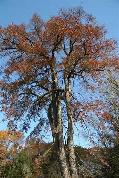 Blackgum Trees Delaware Delawaretrees