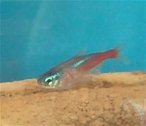 Neon tetra disease s Aquarium Advice Aquarium Forum