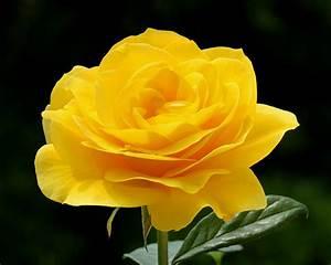 Avenger blog: Yellow Rose Flower