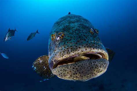 grouper goliath florida lose protection catch usa information padi www2
