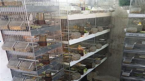 gabbie per allevamento uccelli cerignola sequestrato allevamento abusivo di uccelli