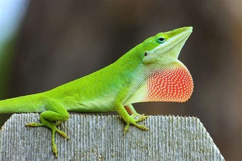 green anole green anole matbio matanzas biodiversity reptiles amphibians 183 inaturalist org