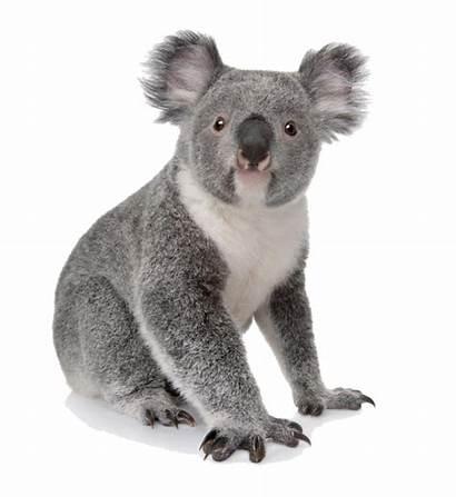 Koala Bear Transparent Purepng