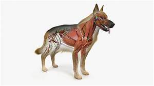 Veterinary Practice  German Shepherd Organ Anatomy