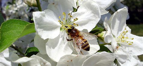 apple pollinators apple pollination groups choosing compatible trees