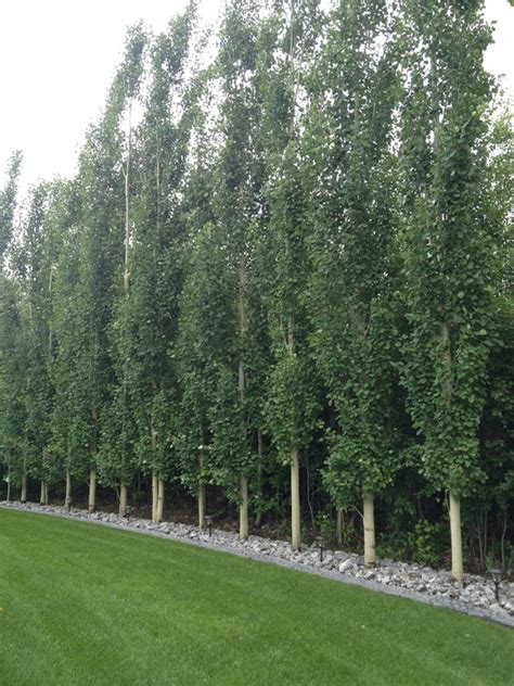 screens for gardens deciduous trees