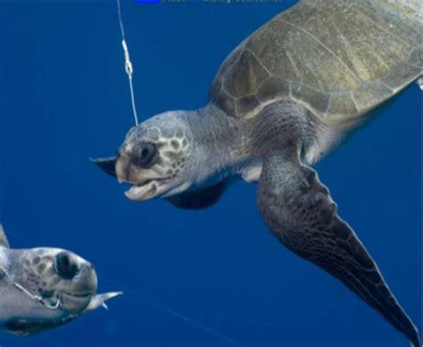 longline fisheries  costa rica hook tens  thousands