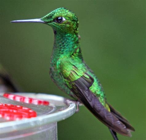 versicoloured emerald hummingbird still hummingbird