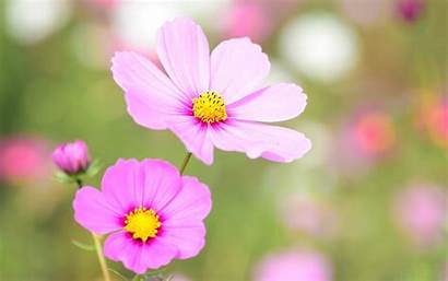 Bloom Cosmea Floral Flowers Blooming 4k Nature