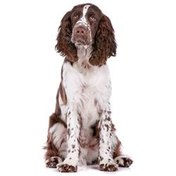 springer spaniel shedding springer spaniel springer spaniel pet insurance info