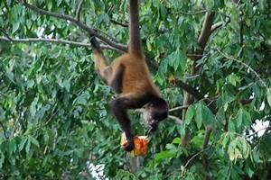 Spider Monkey eating Rancheros | Photo