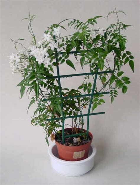 jasminum polyanthum jasmine guide  house plants