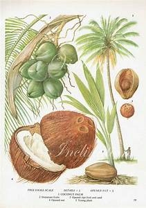 Coconut Fruit Chart Food Botanical Kitchen Illustration