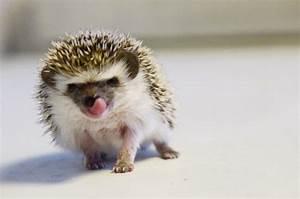 Baby African Pygmy Hedgehog | PrettyPerfectPictures. | Flickr
