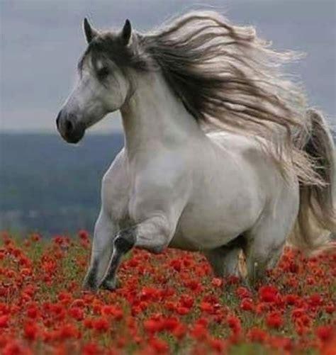 horses pretty horse andalusian friesian