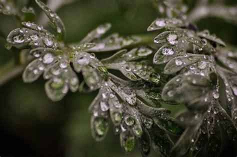AGFonds - Vībotne parastā (Artemisia vulgaris L.)