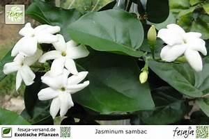 Jasmin Pflanze Winterhart : arabischer jasmin jasminum sambac pflanze fesaja versand ~ Frokenaadalensverden.com Haus und Dekorationen