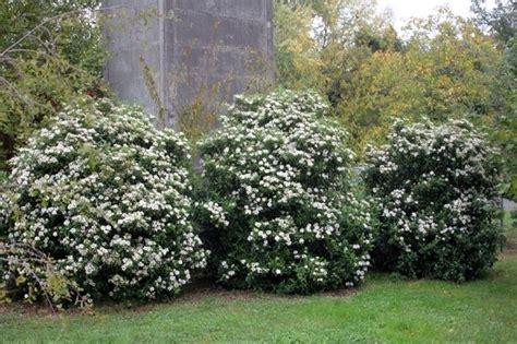 piante da giardino sempre verdi sempreverdi da giardino piante da giardino sempreverdi