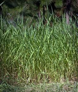 Reed Canarygrass (Phalaris arundinacea) | MPG North