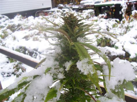 graines de cannabis climat froid