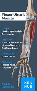 Click To Learn More About The Flexor Carpi Ulnaris Muscle