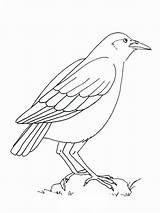 Coloring Pages Crows Crow Birds Printable Recommended sketch template
