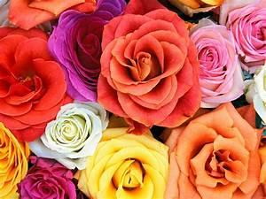 Flowers Wallpapers: Roses Flowers Wallpapers