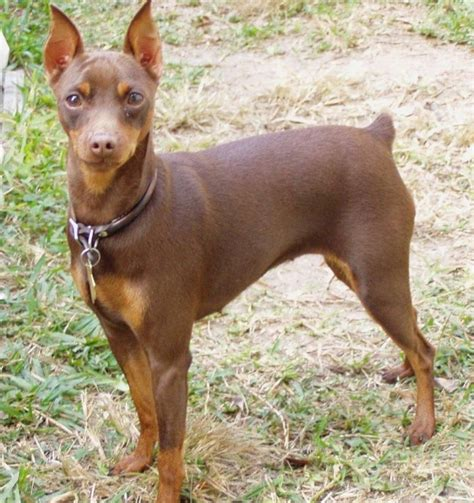 do miniature doberman pinschers shed 17 best ideas about miniature pinscher on mini