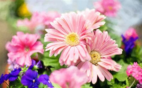 light pink flowers light pink flowers desktop wallpaper screen