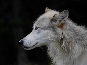 Wolf Profile Photograph by Athena Mckinzie
