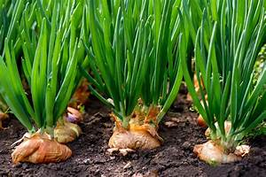 5 Tips To Grow Great Onions