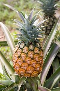 How To Grow Pineapple Plant    Pineapple Suckers  Hybrid