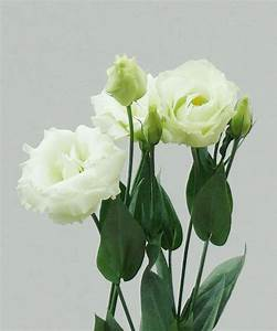 Wholesale Lisianthus