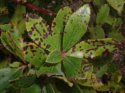 foto de Propagación Infinita: Mancha foliar do érbedo